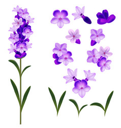 realistic detailed 3d lavender flowers set vector image