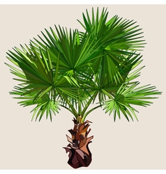 Small palm tree with spreading leaves vector