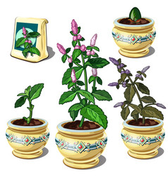 Stages of growth of mint in pot vector