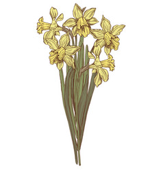 hand drawn daffodils vector image