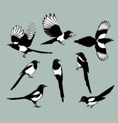 set magpie birds vector image