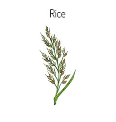 hand drawn rice ears sketch vector image