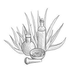 Drawing aloe vera plant vector