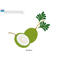 ripe breadfruit popular fruit in micronesia vector image vector image