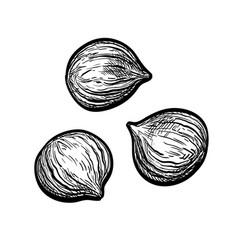 ink sketch chestnuts vector image