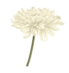 beige dahlia with stem isolated on white vector image