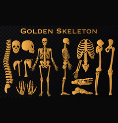 golden luxury human bones skeleton silhouette vector image
