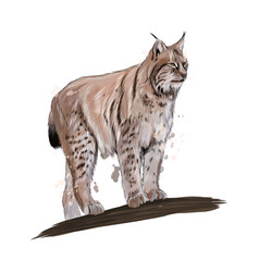 lynx from a splash watercolor colored drawing vector image
