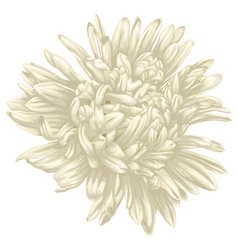 Beautiful beige aster isolated on white background vector image vector image