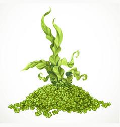 Marine green algae on hill actinium sea life vector