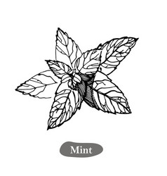 mint drawing isolated on the vector image
