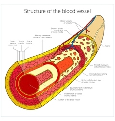 Structure of the blood vessel medical vector