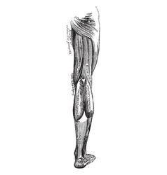 Leg muscles vintage vector