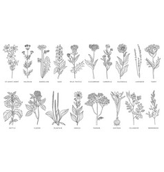 Various medicinal plants and flowers set vector