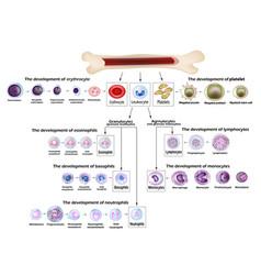 blood cells erythrocyte development red blood vector image