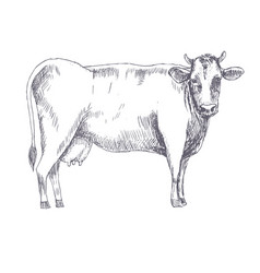 cow hand drawn vector image