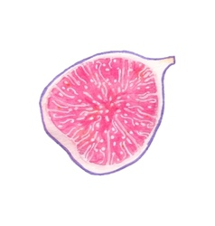 Watercolor half of fig on the white background vector image