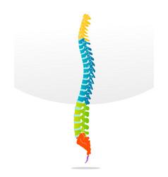 spine bone detailed vector image