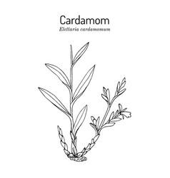 aromatic plant green or true cardamom elettaria vector image