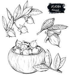 set of hand drawn organic jojoba branch and nuts vector image