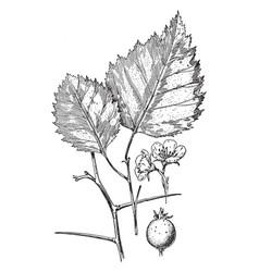 crataegus arnoldiana vintage vector image