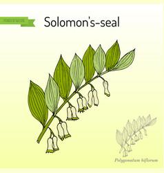 Solomon s seal polygonatum multiflorum medicinal vector