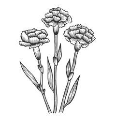 dianthus carnation flowers sketch engraving vector image