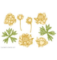 Set hand drawn pastel globeflower vector
