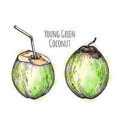 Ink sketch of young green coconut vector