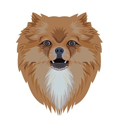 Portrait of pomeranian dog isolated on white vector