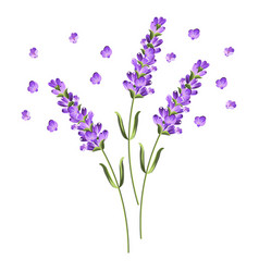 Sprigs lavender with flowers vector