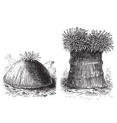 Sea anemone vintage engraving vector image vector image