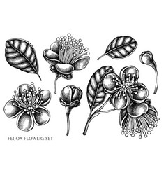 Set hand drawn black and white feijoa vector