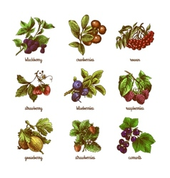 Sketch berries colored set vector