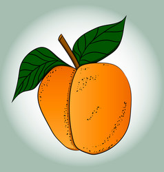picture of a ripe apricot vector image vector image
