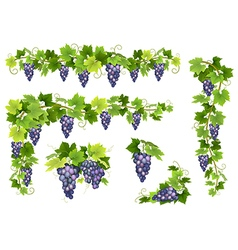 Blue grapes bunch set vector