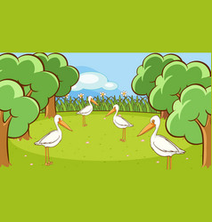 scene with many pelican birds in park vector image