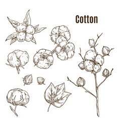 set of isolated sketches of cotton bolls branch vector image
