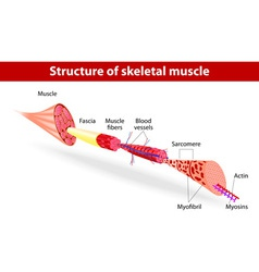 Structure of skeletal muscle vector image vector image