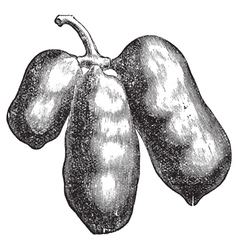 Common pawpaw engraving vector image