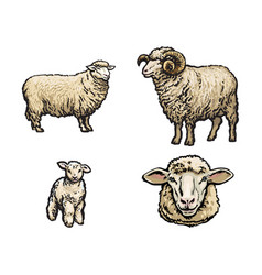 sketch sheep lamb horned ram set vector image