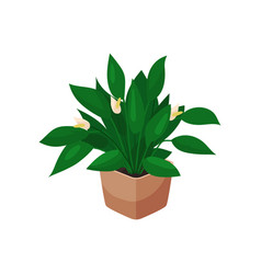 Spathiphyllum houseplant potted flower vector