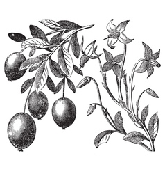 Cranberry vintage engraving vector image