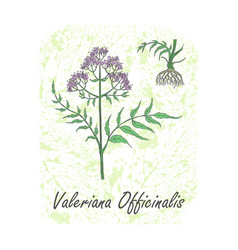 Colored herbal plant valerian on textured vector