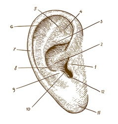 engraving ear vector image