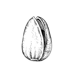 hand drawn pistachio nut in a shell vector image