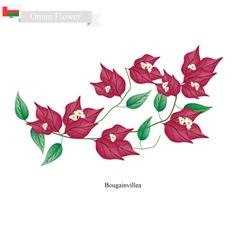Pink Bougainvillea Flowers Native Flower of Oman vector image vector image