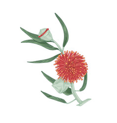 Blooming eucalyptus with red blossomed flower vector