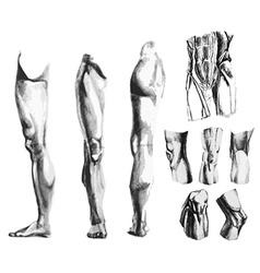 Leg knee abdomen muscles vector image