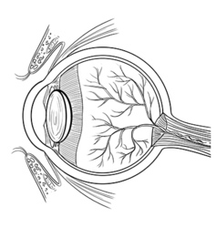 Anatomy of the human eye vector image